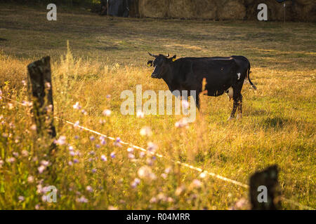 Cows on the field, polish rural landscape, late evening golden light.
