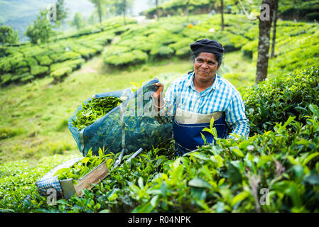 Tea pickers on a tea estate in the plantations near Munnar in the Western Ghats Mountains, Kerala, India, Asia - Stock Photo