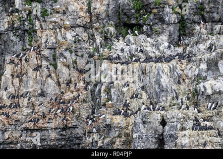 A common guillemot (Uria aalge) breeding colony on the cliffs of Bjornoya, Svalbard Archipelago, Arctic, Norway, Europe - Stock Photo