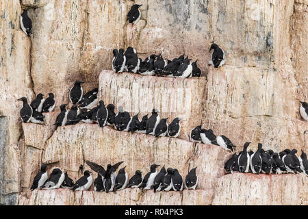 Brunnich's Guillemot (Uria lomvia), nesting cliffs at Cape Fanshawe, Spitsbergen, Svalbard, Arctic, Norway, Europe - Stock Photo