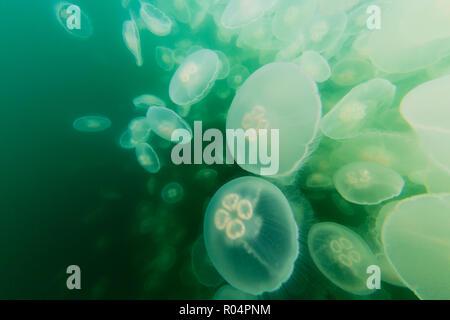 Blooming moon jellyfish (Aurelia aurita), Pond Island in Kelp Bay, Baranof Island, southeast Alaska, United States of America, North America