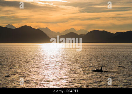 Adult bull killer whale (Orcinus orca) surfacing at sunset near Point Adolphus, Icy Strait, Southeast Alaska, United States of America, North America - Stock Photo