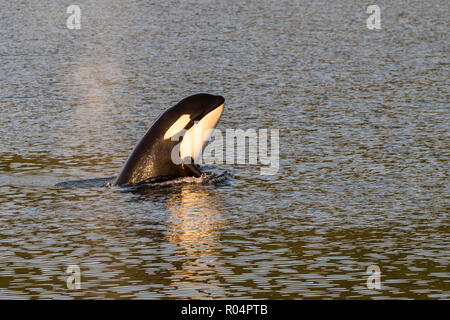 Killer whale calf (Orcinus orca) spy-hopping at sunset near Point Adolphus, Icy Strait, Southeast Alaska, United States of America, North America - Stock Photo