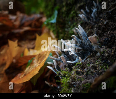 UK autumn macro: Xylaria hypoxylon fungus known by a number of candlesnuff, candlestick, carbon antlers, dead wood, stag's horn - Stock Photo