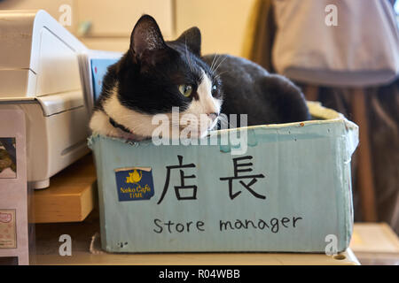 Cat sitting in a box in a Japanese cat cafe, Kyoto, Japan, Asia - Stock Photo
