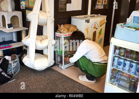 Cat in a Japanese cat cafe, Kyoto, Japan, Asia - Stock Photo