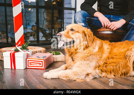 adult dog a golden retriever,abrador lies next to the owner's legs of a male breeder.In the interior of house on a wooden floor near the window with a - Stock Photo