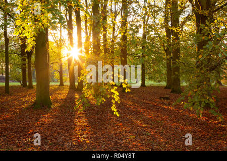 Barton-upon-Humber, North Lincolnshire, UK. 1st November 2018. UK Weather: Late evening light through the Beech Trees in Baysgarth Park in Autumn. Barton-upon-Humber, North Lincolnshire, UK. 1st Novermber 2018. Credit: LEE BEEL/Alamy Live News - Stock Photo