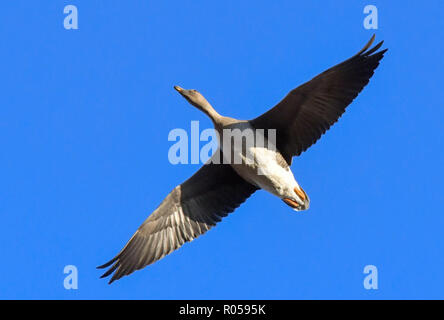 Reitwein, Germany. 31st Oct, 2018. A greylag goose (Anser anser) flies in the blue sky over the Oderbruch. Credit: Patrick Pleul/dpa-Zentralbild/ZB/dpa/Alamy Live News - Stock Photo