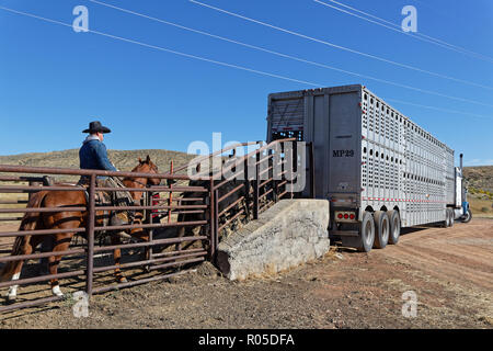 RED LODGE, MONTANA, September 21, 2018 : Mounted cowboys rassemble herd of cows to load big trucks, to conduct them to Nebraska for the winter. - Stock Photo