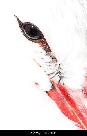 An overexposed close-up of a white stork (Ciconia ciconia) at Zoo del Pirineu (Odèn, Catalonia) - Stock Photo