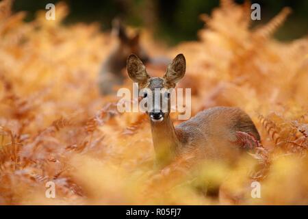 Roe deer in golden autumnal bracken - Stock Photo