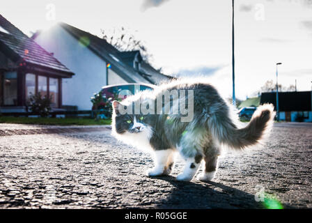A fluffy grey white cat - Stock Photo