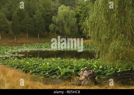 Lotus flowers on private pond in Virginia - Stock Photo