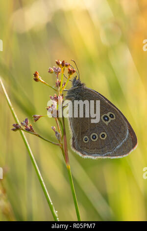 Ringlet Butterfly (Aphantopus hyperantus), adult resting on grass seed head in early morning, Warwickshire, July - Stock Photo