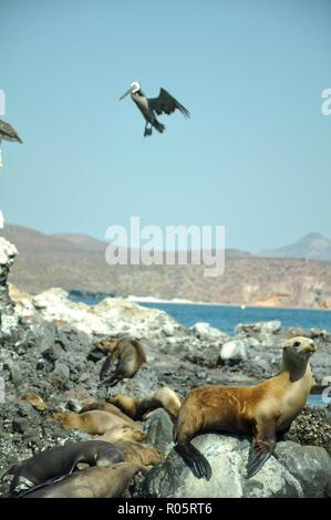 A giant pelican is landing on a sea lion island in baja california, sea of cortez mexico. - Stock Photo