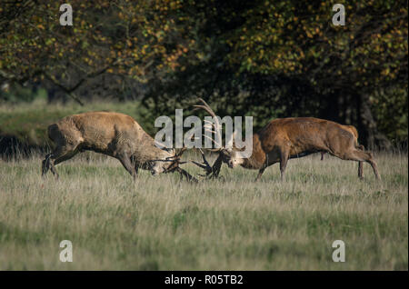 Two large male Red Deer Stag, Cervus elaphus, fighting during the rut, Fountains Abbey, North Yorkshire, UK - Stock Photo