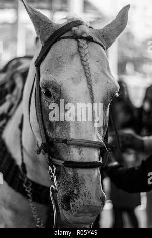 light colored horse face in the foreground with black and white bokeh - Stock Photo