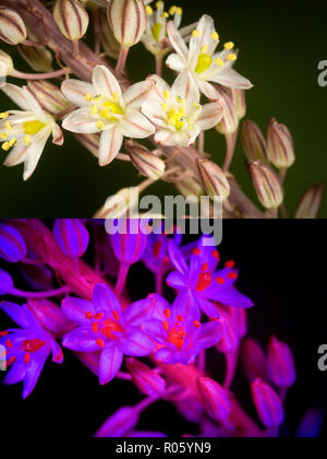 Asphodelus albus, White asphodel, flowers. Above photographed with daylight and bellow showing fluorescent colours when photographed under ultraviolet - Stock Photo