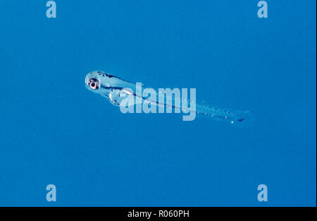 Zebrafish, Danio rerio, fry on aquarium. Since the 1930s, zebra fish have been a model organism for studying human diseases. - Stock Photo