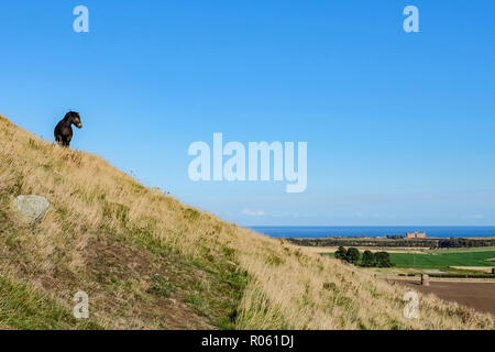 Scottish pony, on side of North Berwick Law, crag and tail hill, views to Tantallon Castle and Firth of Forth, North Berwick, Scotland, UK - Stock Photo