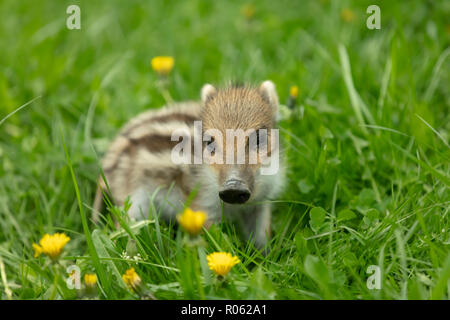 Beautiful young Boar with stripes on a meadow in Springtime - Stock Photo