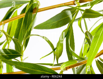 blooming buds with green leaves and willow flowers, closeup on a light background - Stock Photo