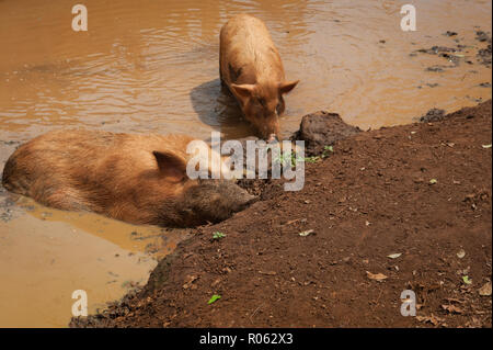 Two pigs sleeping and relaxing in a mud bath on a farm in Kauai, Hi - Stock Photo