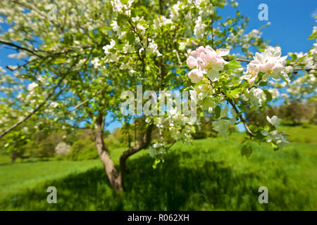 Close up of pink apple blossom on beautiful spring day with blue sky and sunshine on vivid green grass - Stock Photo
