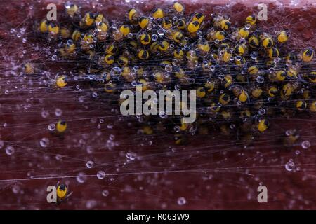 Swarm of baby spiders in a nest. Water droplets reflecting sunshine stuck on the spider webs. Close up macro shot. - Stock Photo