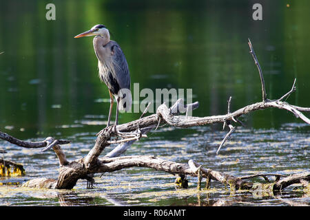 A Great Blue Heron stands on a dead tree branch over water - Stock Photo