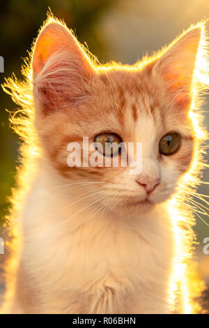 Cat portrait during sunset - Stock Photo