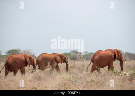 elephants in Tsavo East national park in Kenya, Africa - Stock Photo