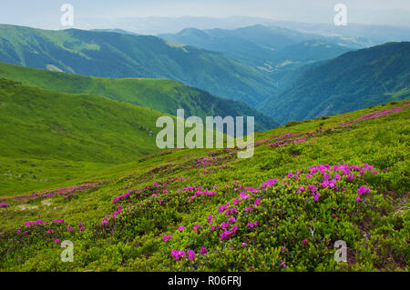 Valley among majestic green rugged mountain hills covered in green lush grass. Closeup of many pink blossoming rhododendron flowers. Summer day in Jun