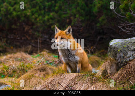 Capture of fox watching for something to eat. Slovakia - Stock Photo