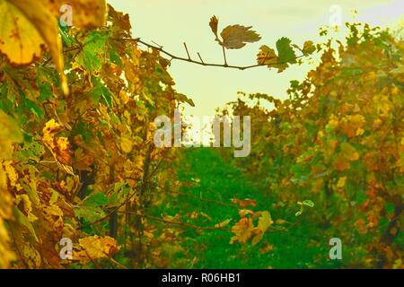 Colorful rows of vineyards in autumn. Yellow autumn colors - Stock Photo