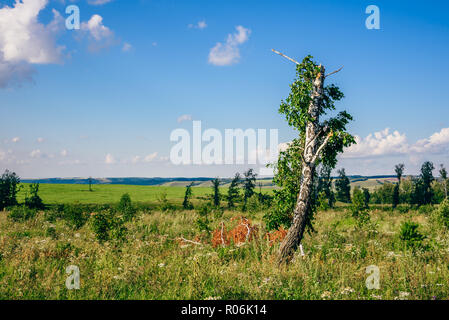Lonely Birch Tree with Broken Trunk and Branches on Meadow with Flowers. - Stock Photo