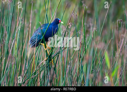 Purple Gallinule walks about in his natural environment foraging for food. - Stock Photo