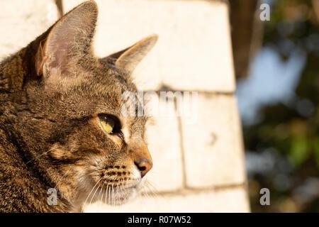 Tabby Cat outdoor portrait. - Stock Photo