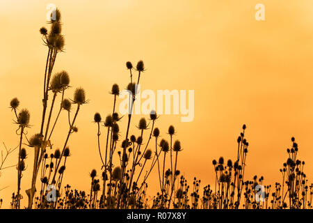A field of dried teasel flowers against funereal sky. Sepia - Stock Photo