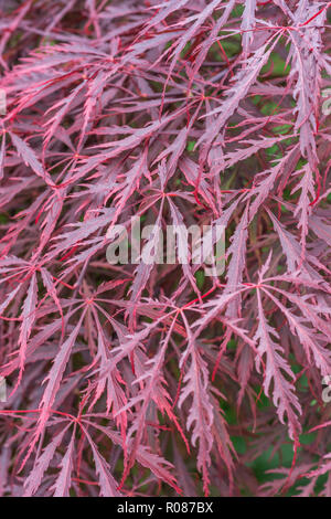 Striking purple leaves of what is believed to be a type of Japanese Maple  / Acer palmatum. An ornamental garden plant in the UK - Stock Photo