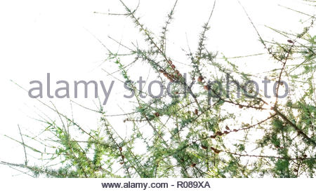Pine tree branches - Stock Photo