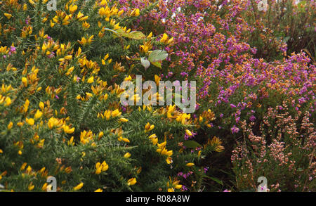 pink heather and yellow gorse flowers in bloom on the Irish coastline along the Ring of Kerry in Ireland - Stock Photo