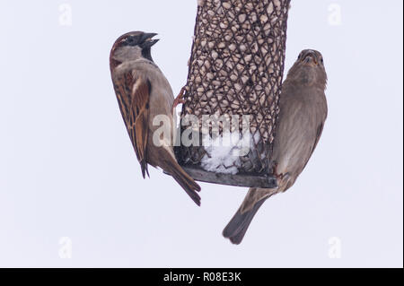 A pair of house sparrows (passer domesticus) in a uk garden - Stock Photo