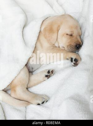 Sleeping Gold labrador puppy - Stock Photo