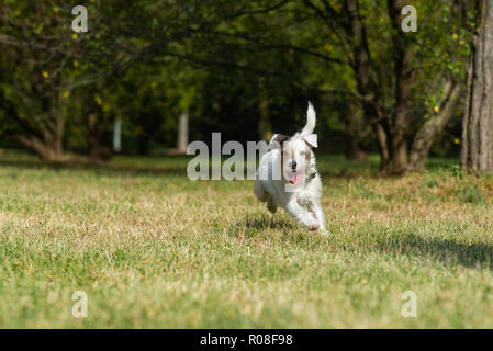 Parson Russell Terrier running very fast in a city park - Stock Photo