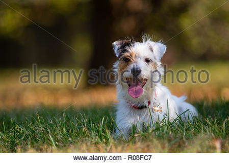 Happy Parson Russell Terrier smiling, resting on the grass - Stock Photo