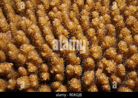 Table coral Acropora hyacinthus, close-up underwater, Tahiti, Pacific ocean, French Polynesia - Stock Photo
