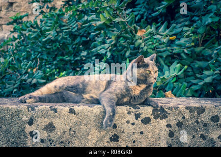 Horizontal photo of nice adult cat. Animal has nice grey and orange fur. Cat is perched on stone wall near entrance to old town of Rhodes capital city - Stock Photo