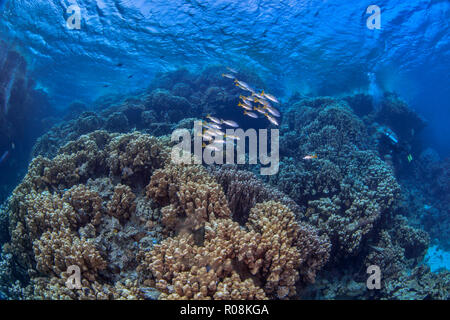 Scuba divers explore mountainous coral reef formations in the Red Sea. - Stock Photo